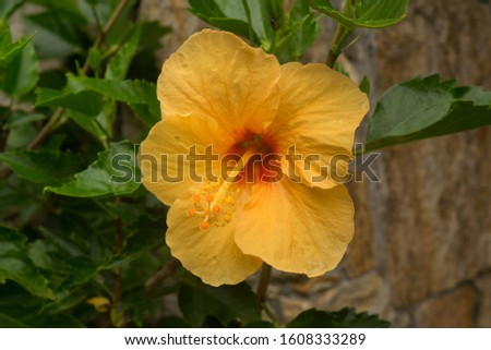Hibiscus flower, beautiful, and with multiple health benefits, has a variety of shapes and colors, is from the same family as the cotton flower, the hibiscus flower only lives 24 hours. #1608333289