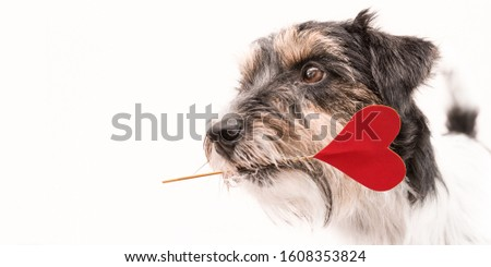 Romantic Dog - small cute Jack Russell Terrier doggy with a heart as a gift for Valentine in the mouth.. Picture isolated on white.