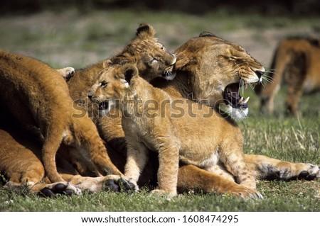 AFRICAN LION panthera leo, FEMALE WITH CUBS PLAYING, KENYA   #1608474295