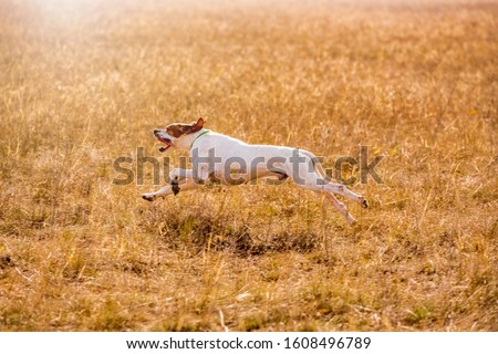 Pointer dog hunting. Dog run on field trial, outdoors, horizontal. #1608496789