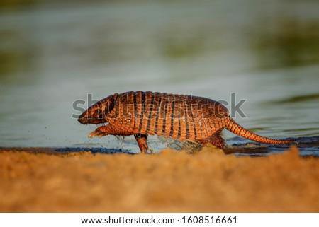 The six-banded armadillo (Euphractus sexcinctus), also known as the yellow armadillo, is an armadillo found in South America-Pantanal.