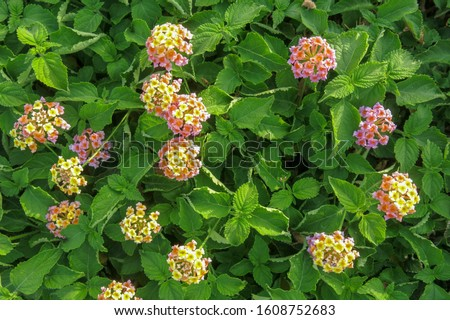 Beautiful Lantana Camara plant with massive multicolored flowers in the garden of a hotel resort in Egypt. Other common names Big-sage, Wild-sage, red-sage, White-sage, tickberry, West Indian Lantana. #1608752683