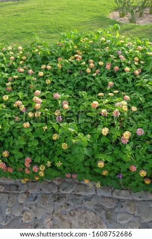 Beautiful Lantana Camara plant with massive multicolored flowers in the garden of a hotel resort in Egypt. Other common names Big-sage, Wild-sage, red-sage, White-sage, tickberry, West Indian Lantana. #1608752686