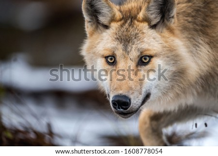 Сlose-up portrait of a wolf. Eurasian wolf, also known as the gray or grey wolf also known as Timber wolf.  Scientific name: Canis lupus lupus. Natural habitat.  #1608778054