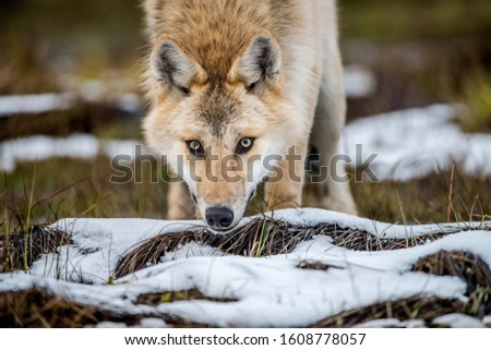 Сlose-up portrait of a wolf. Eurasian wolf, also known as the gray or grey wolf also known as Timber wolf.  Scientific name: Canis lupus lupus. Natural habitat.  #1608778057