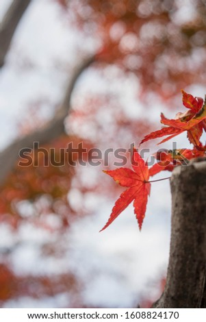 Maple leaves change color to orange. Is a close-up image #1608824170