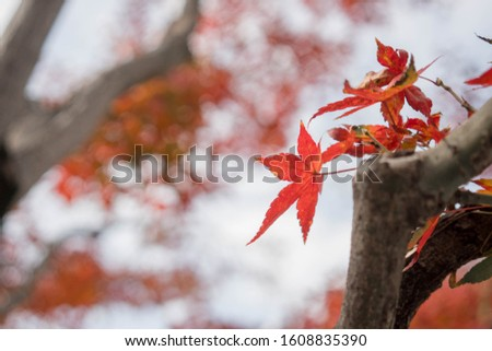Maple leaves change color in spring. #1608835390