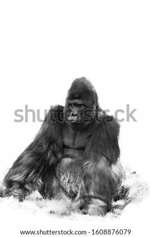 The western lowland gorilla (Gorilla gorilla gorilla), an adult large silverback male. Great ape isolated on white background. #1608876079
