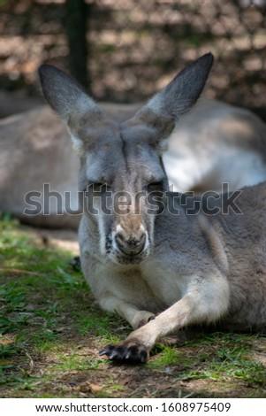 A Sleepy kangaroo background picture