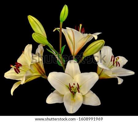 Bouquet of white Lilies with a lot of blooming and not budding buds. Side view isolated on black background close-up. #1608991969