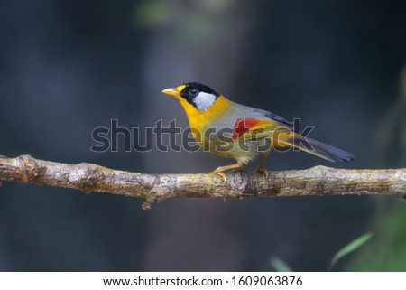 Silver eared mesia from Fraser's hills Malaysia #1609063876