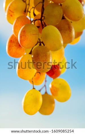 Grapes can be eaten fresh as table grapes or they can be used for making wine, jam, juice, jelly, grape seed extract, raisins, vinegar, and grape seed oil. Grapes are a non-climacteric type of fruit #1609085254