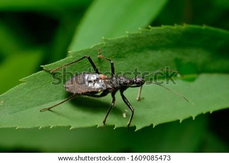 larva of assassin bug. hokkaido Japan