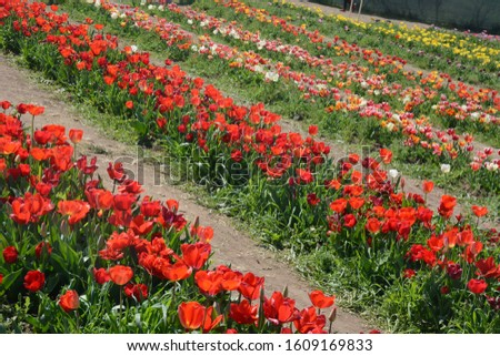 brightly colored cultivation of tulips