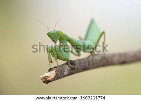 green praying mantis on dead branches / Mantis religiosa #1609201774