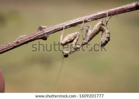 green praying mantis on dead branches / Mantis religiosa #1609201777