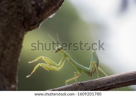 green praying mantis on dead branches / Mantis religiosa #1609201780
