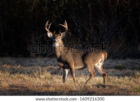Ten point whitetail deer buck looking in a field. Royalty-Free Stock Photo #1609216300