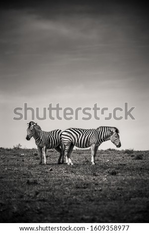 Two zebras in the Addo Elephant National Park, near Port Elizabeth, South Africa #1609358977