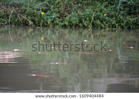 This pic show the group of red tilapia fish swimming on surface water in the morning. Lack of oxygen in the water will cause fish to swim to the surface to breathe. Aquaculture concept.