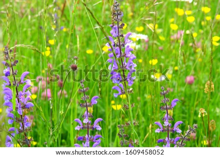 a meadow in spring, the meadow sage #1609458052