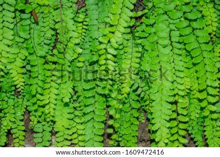 green leaf background of wild hair maiden fern. vascular plant #1609472416