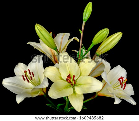 Bouquet of white Lilies with a lot of blooming and not budding buds. Side view isolated on black background close-up. #1609485682