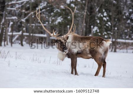 Boreal woodland caribou in winter (Rangifer tarandus caribou) #1609512748