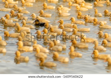 A pond full of ducklings with one duckling standing out through it's different color. An actual picture taken in Vietnam that expresses so much about the power of standing out from a crowd. Be unique!