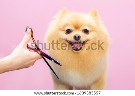 Dog gets hair cut at Pet Spa Grooming Salon. Closeup of Dog. The dog is trimmed with scissors. pink background. groomer concept #1609583557
