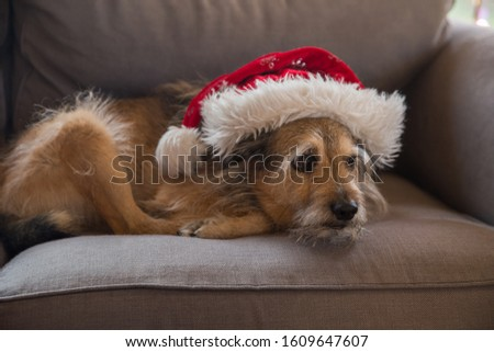 A dog in the red Christmas hat.  Dog with sad face in a red hat.