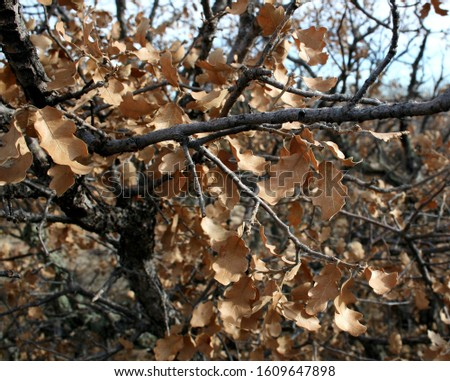 Retained dead autumn leaves on branches of gambel oaks or scrub oaks #1609647898