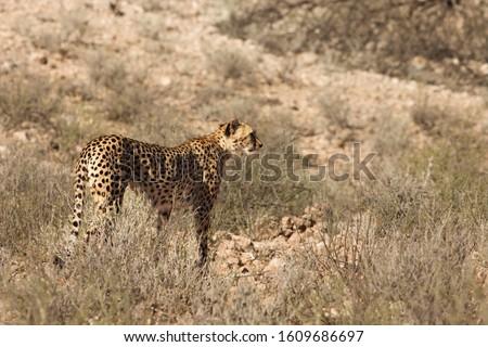 Cheetah (Acinonyx jubatus) in Kalahari desert going on dry sand with dry grass and dry trees background. #1609686697