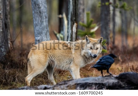 Wolf and raven. Eurasian wolf, also known as the gray or grey wolf also known as Timber wolf.  Scientific name: Canis lupus lupus. Natural habitat. Autumn forest.  #1609700245