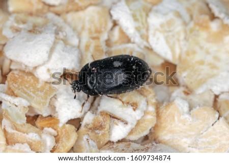 Female of Attagenus pellio the fur beetle or carpet beetle from the family Dermestidae a skin beetles.  #1609734874