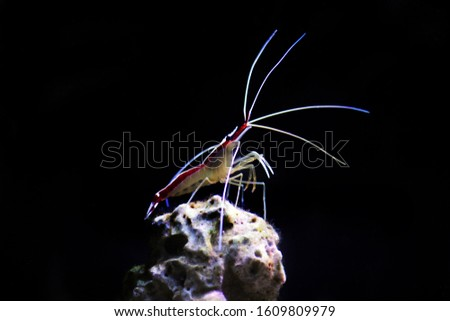 Lysmata amboinensis - Saltwater cleaner shrimp, invertebrate creature #1609809979