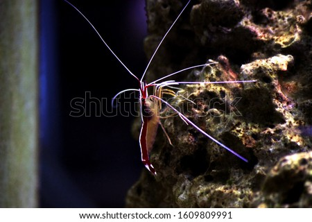 Lysmata amboinensis - Saltwater cleaner shrimp, invertebrate creature #1609809991