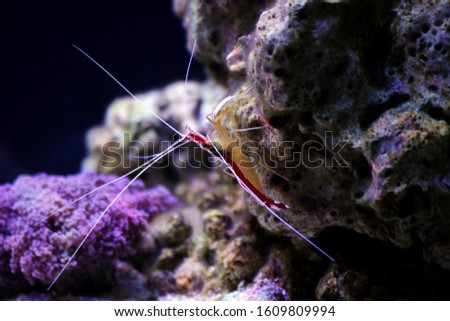 Lysmata amboinensis - Saltwater cleaner shrimp, invertebrate creature #1609809994