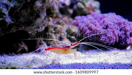 Lysmata amboinensis - Saltwater cleaner shrimp, invertebrate creature #1609809997