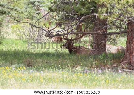 Elk resting in shade near Estes Park , Colorado #1609836268