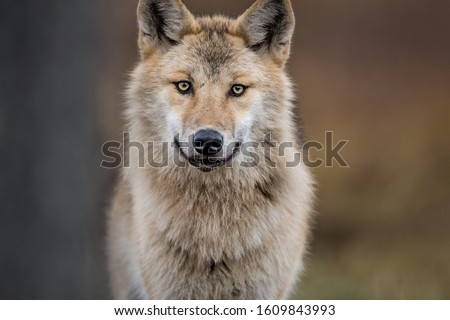 Сlose-up portrait of a wolf. Eurasian wolf, also known as the gray or grey wolf also known as Timber wolf.  Scientific name: Canis lupus lupus. Natural habitat.  #1609843993