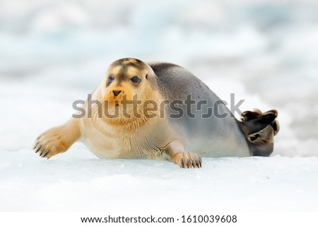 Seal in the Arctic snowy habitat. Bearded seal on blue and white ice in arctic Svalbard, with lift up fin. Arctic marine wildlife. Wildlife scene in the nature. Icebreaker with cute seal. #1610039608