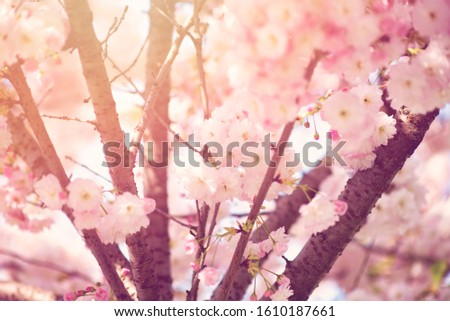 BEAUTIFUL PINKY CHERRY BLOSSOMS IN EARLY SPRING #1610187661