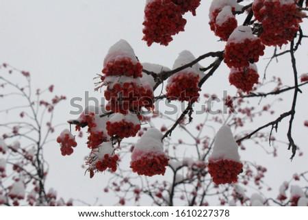 Rowan berries in the snow. Bunches of red rowan berries. Red berries of rowan in winter #1610227378