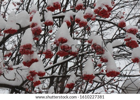 Rowan berries in the snow. Bunches of red rowan berries. Red berries of rowan in winter #1610227381