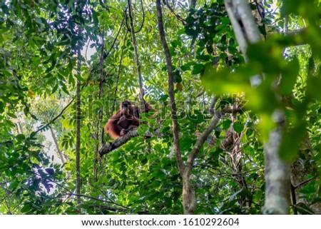 Female Sumatran orangutan wood forest Indonesia rainforest #1610292604