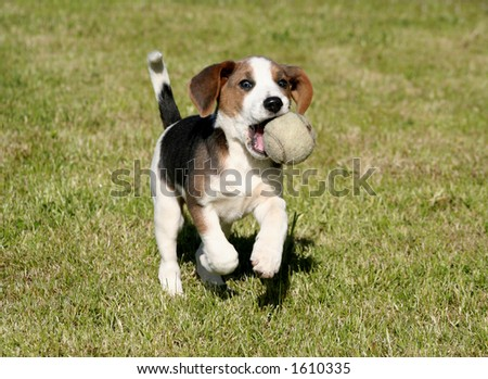Playful Beagle #1610335