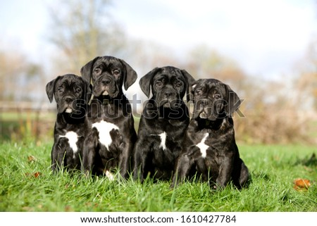 CANE CORSO, A DOG BREED FROM ITALY, PUPPIES ON GRASS   #1610427784