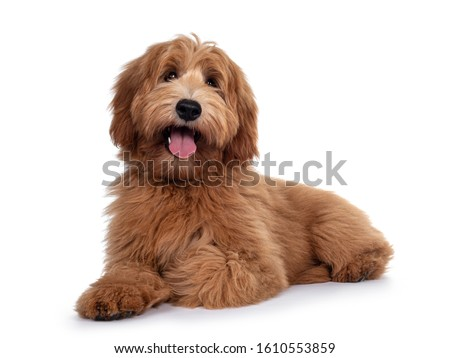 Adorable red / abricot Labradoodle dog puppy, laying down side ways, looking towards camera with shiny dark eyes. Isolated on white background. Mouth open showing pink tongue. Royalty-Free Stock Photo #1610553859