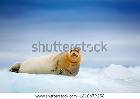 Arctic marine wildlife. Cute seal in the Arctic snowy habitat. Bearded seal on blue and white ice in arctic Svalbard, with lift up fin. Wildlife scene in the nature. Icebreaker with seal. #1610679256